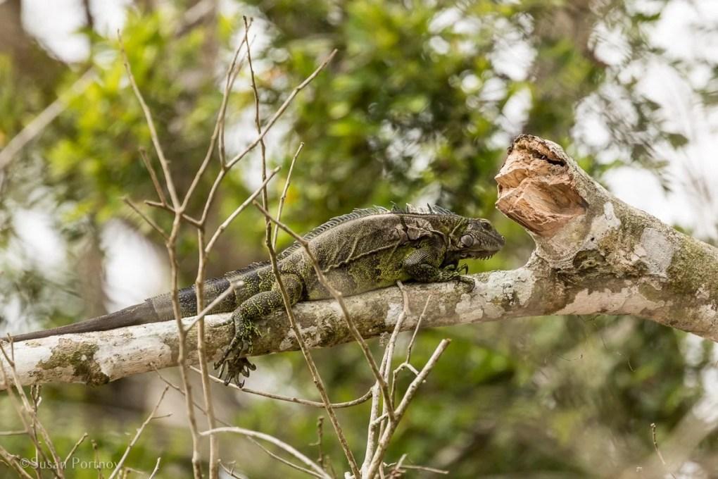 Green tree iguana in a tree | Amazon River Cruise Peru -International Expeditions-01-4