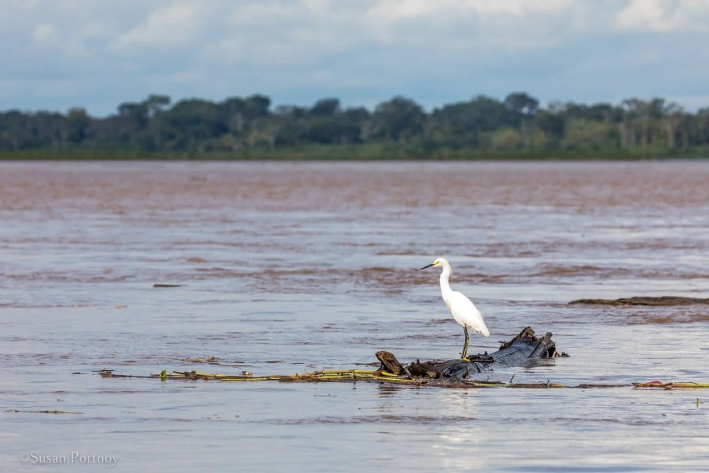 Snowy Egret | Amazon River Cruise Peru -International Expeditions-02