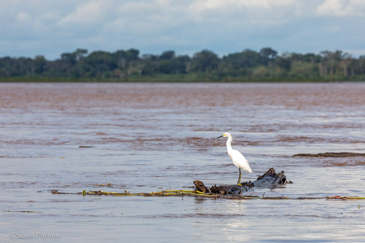 Snowy Egret | Amazon River Cruise Peru -International Expeditions-02