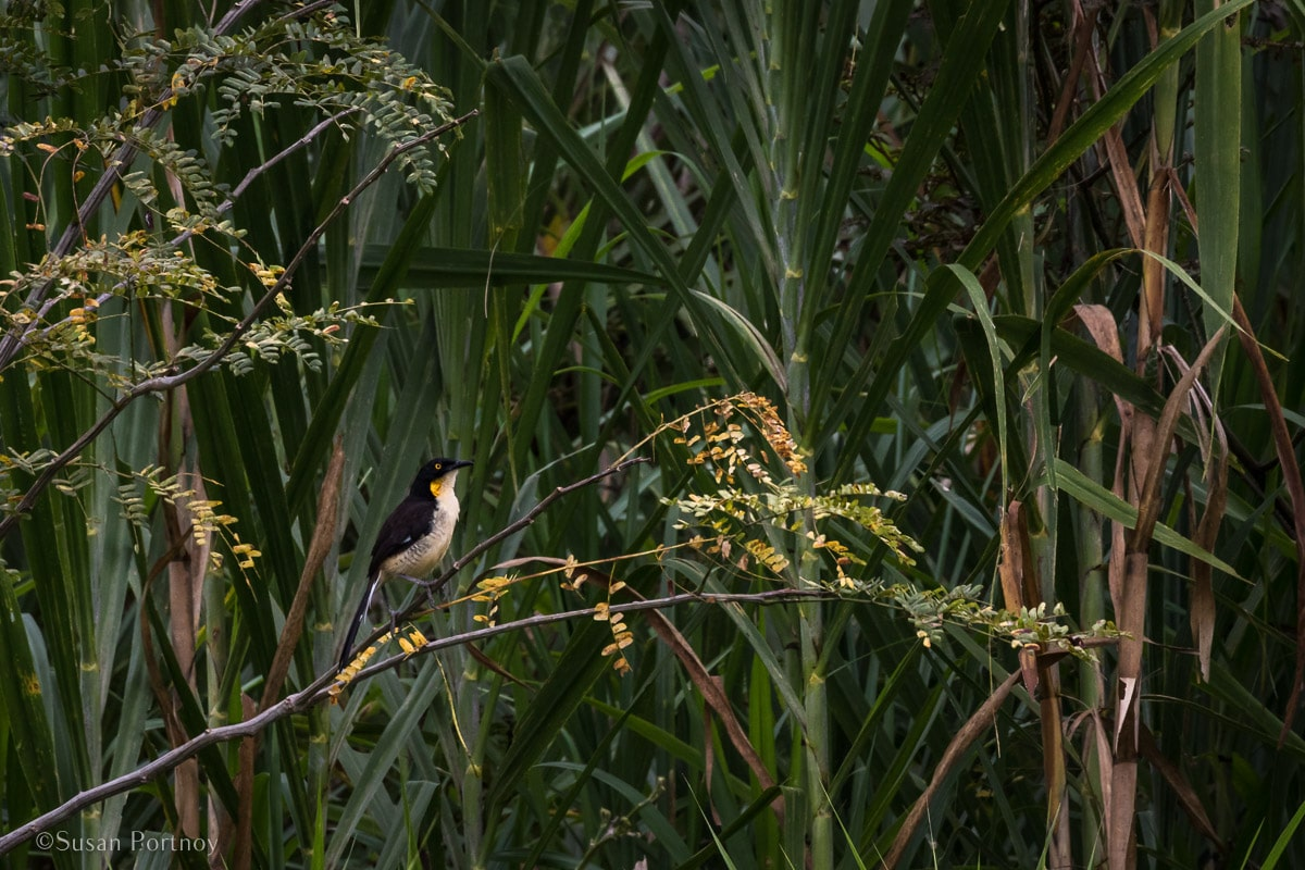 Black-capped Donacobeous in a tree | Amazon River Cruise Peru -International Expeditions-04