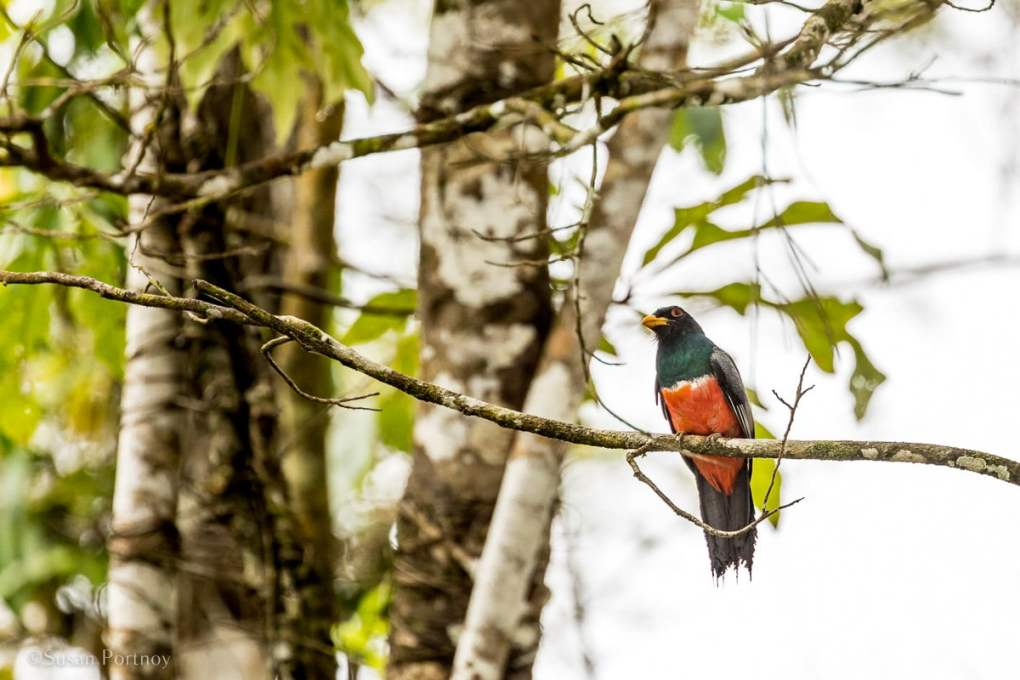 A black-tailed trogon in a tree | Amazon River Cruise Peru -International Expeditions-24