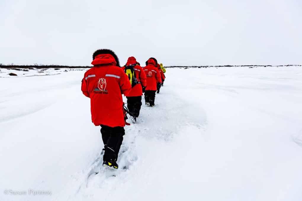 Walking in single file in snow in Manitobe - Canada's Walking Polar Bear Photo Safari -Seal River Heritage Lodge-Manitoba -8442