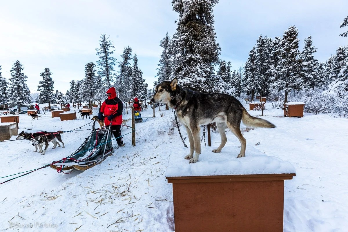 A sled dog in White Horse, Yukon on top of his dog house