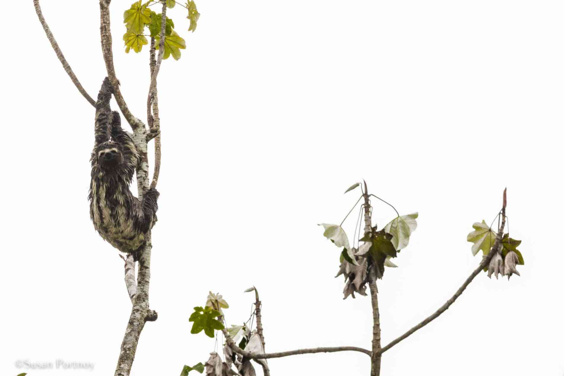 sloth in a tree   6 Things to love about a luxury River Cruise on the Amazon -0050