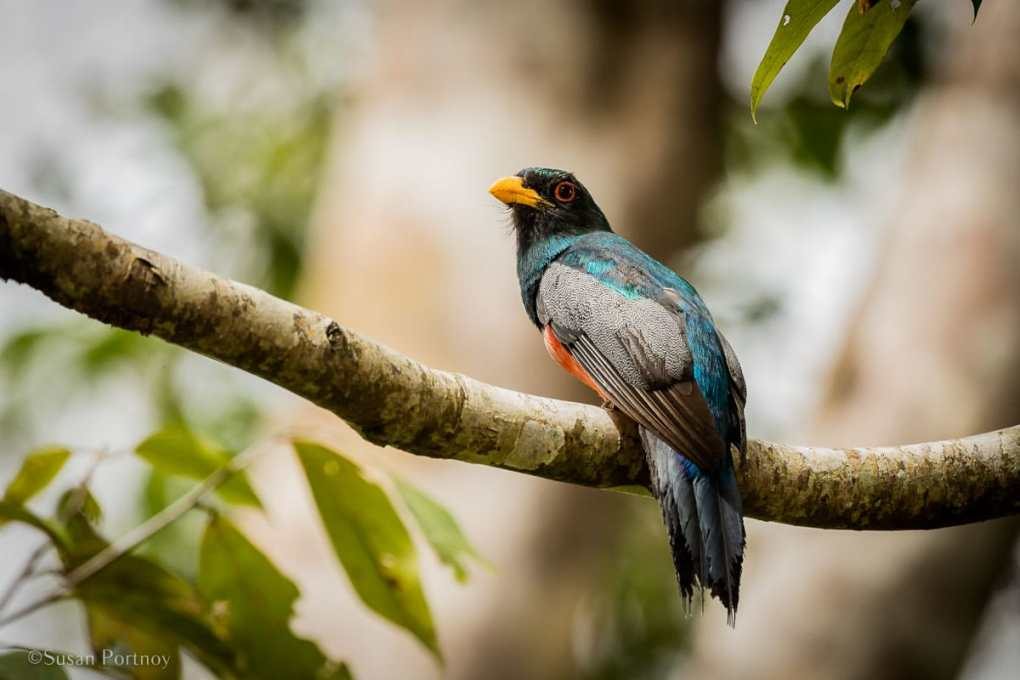Black-tailed Trogon   Tips for Photographing Amazon Rainforest Animals-0198