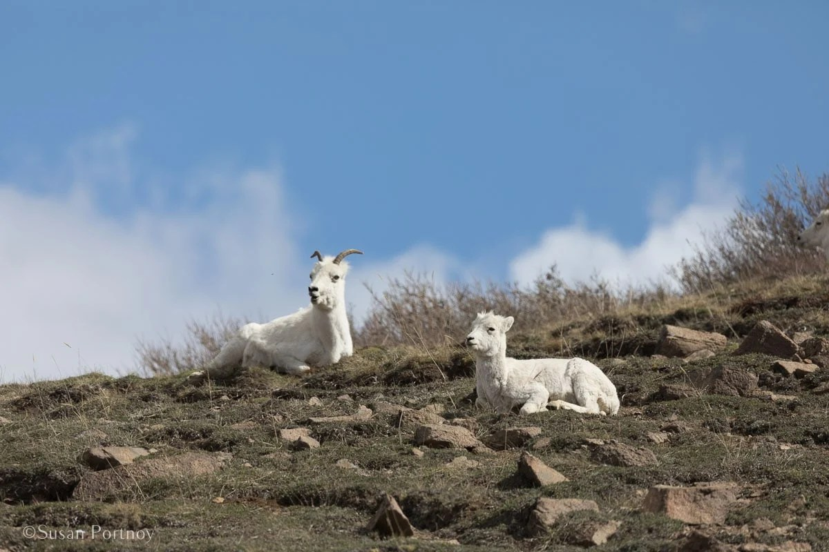 Dall sheep in Denali National Park - - Lessons Learned on an Big Ship Alaskan Cruise -140920180601