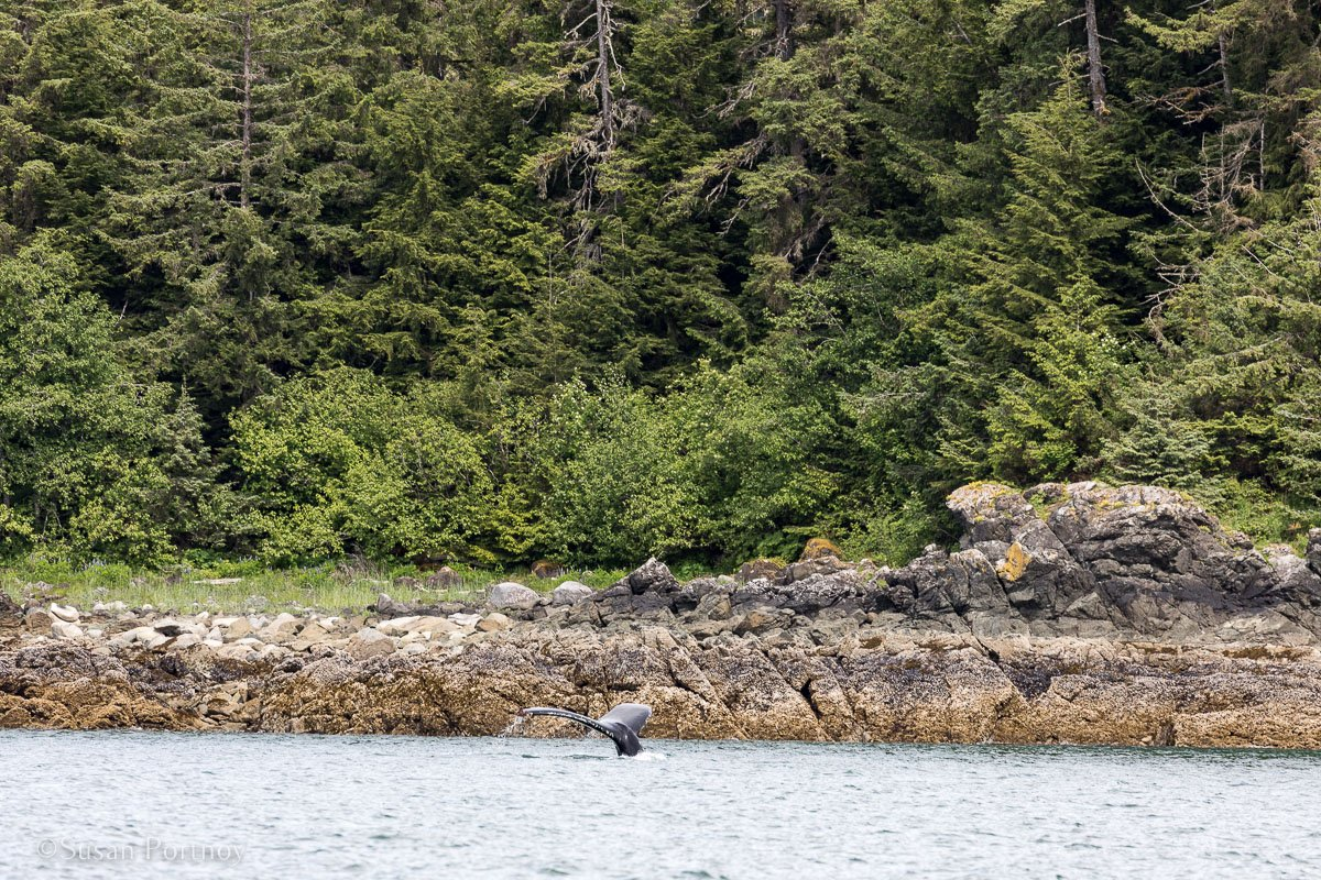 A quick glimpse of a humpback whale's fluke. outside of Juneau. - Lessons Learned on an Alaskan Cruise -183820180606