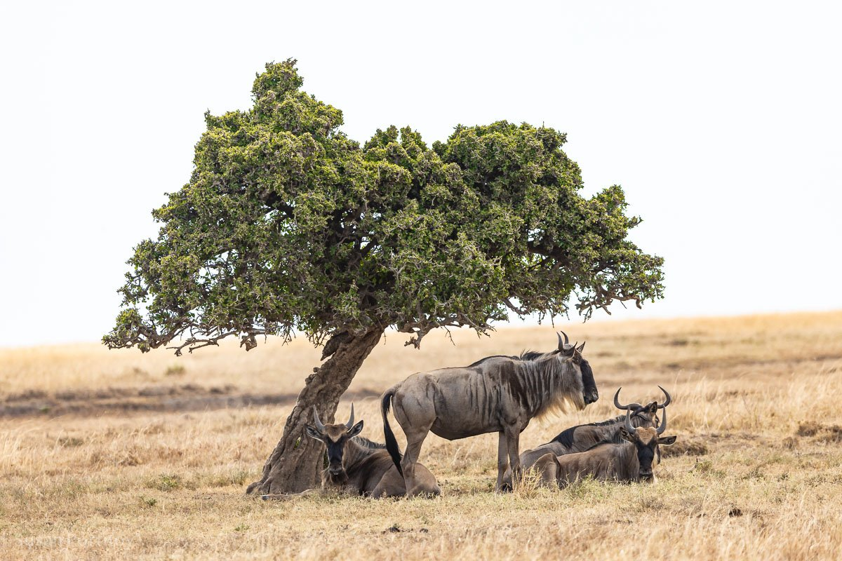 Wildebeest Masai Mara - How to Experience More Beyond Kenya's Big Five -0239