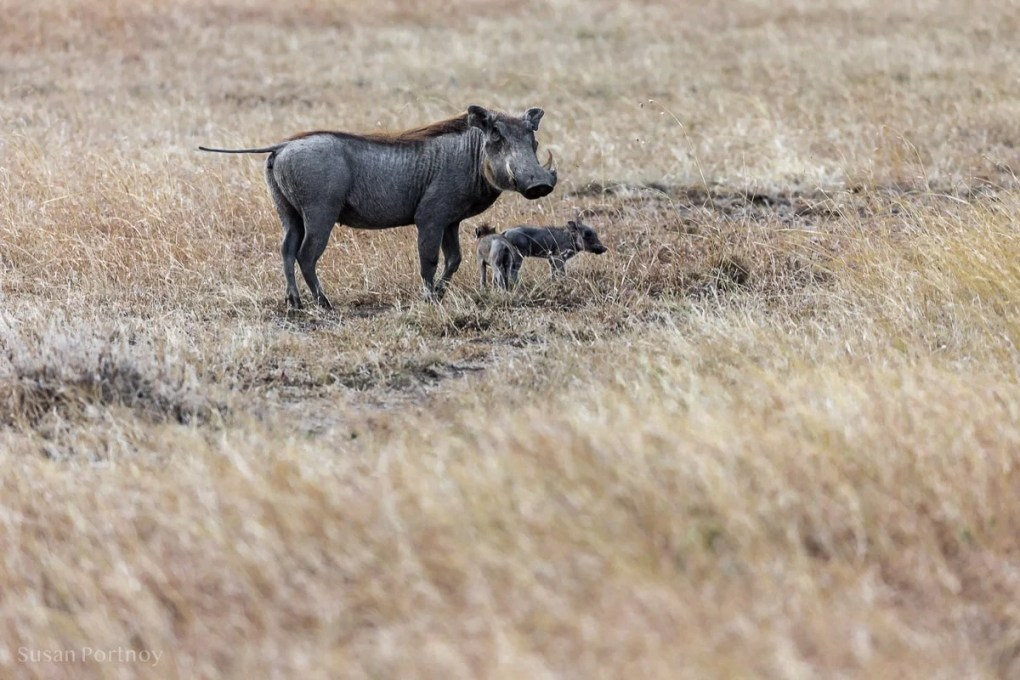 Warthog Masai Mara - How to Experience More Beyond Kenya's Big Five - How to Experience More Beyond Kenya's Big Five -0288
