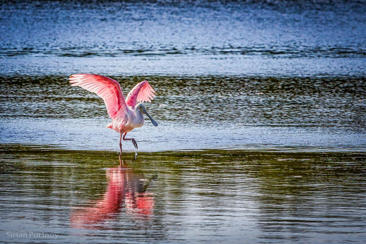 Roseate Spoonbill - Best Guide to the Ding Darling Wildlife Refuge on Sanibel Island-01