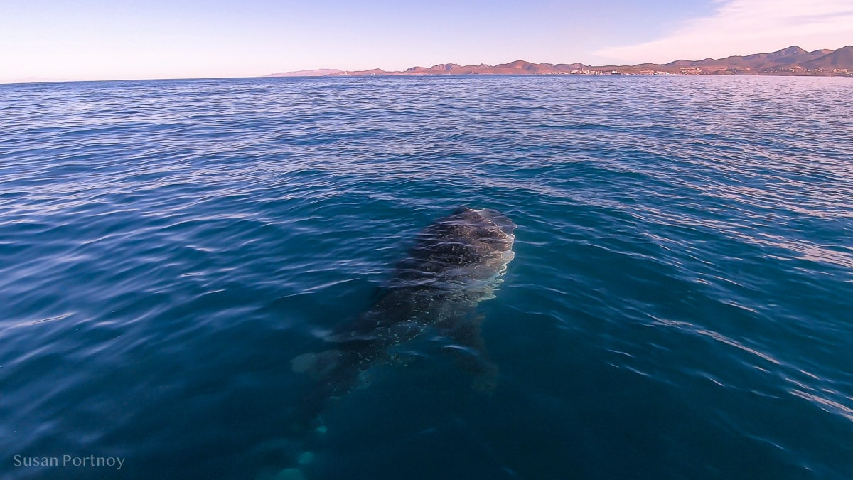 Whale shark from boat with open mouth