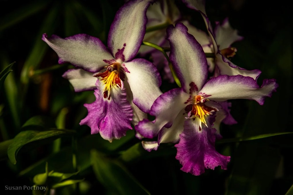 Orchid in New York Botanical Garden in the Bronx - NYBG_Orchid_Singapore-900B153720190308