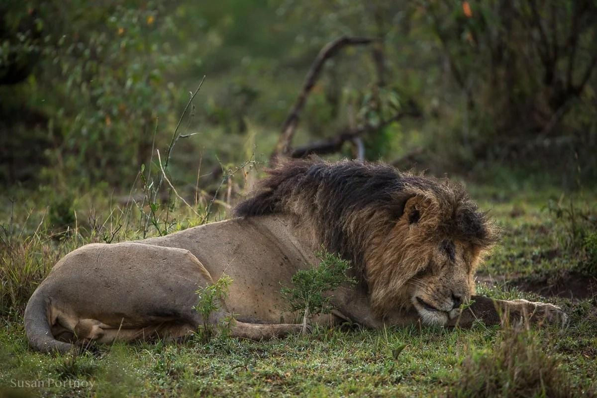 Scarface lion sleeping in the Masai Mara