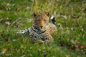 Leopard during a game drive at Duba Explorers Camp