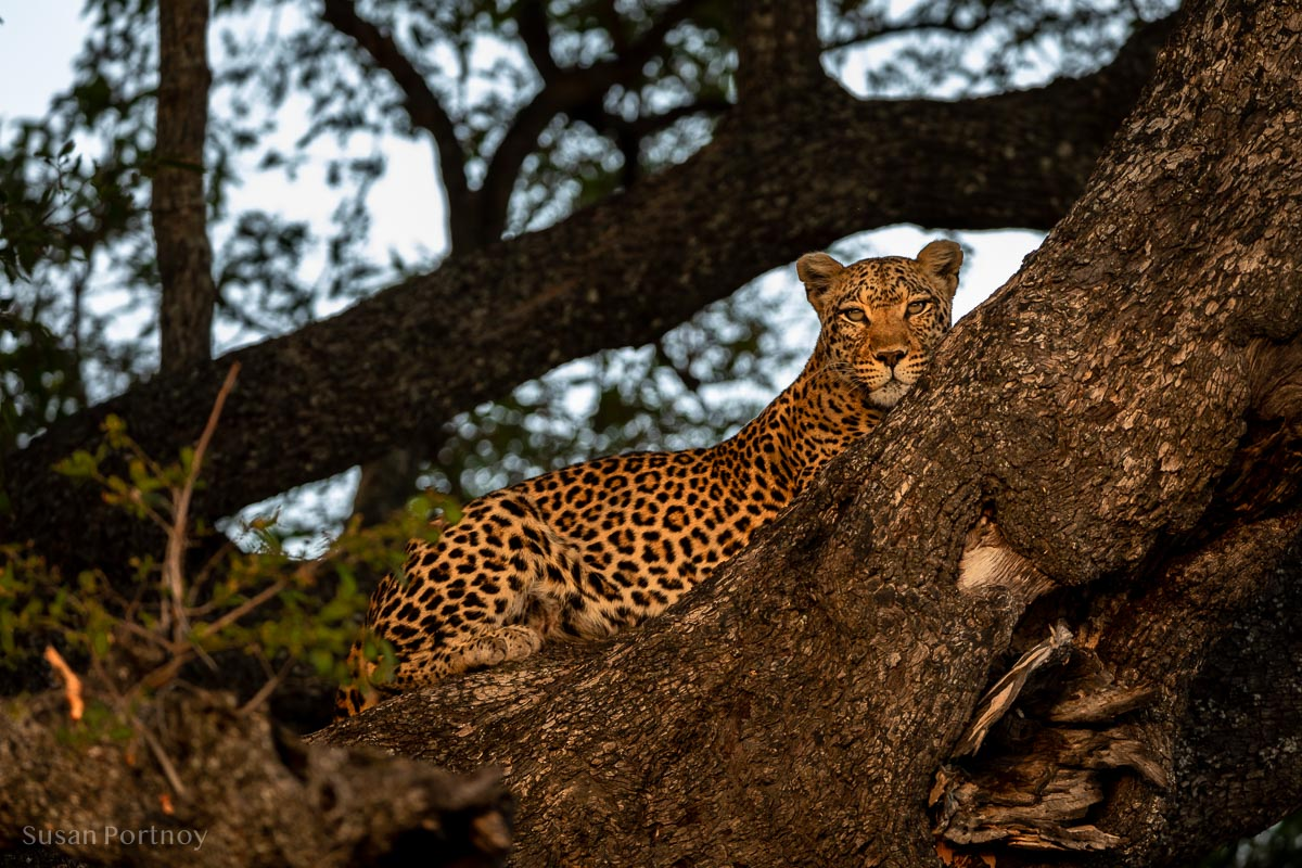 A leopard laying in a tree