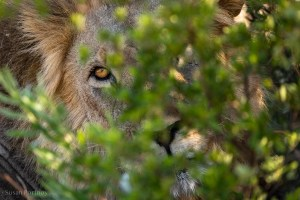 A lion peeking through some leaves