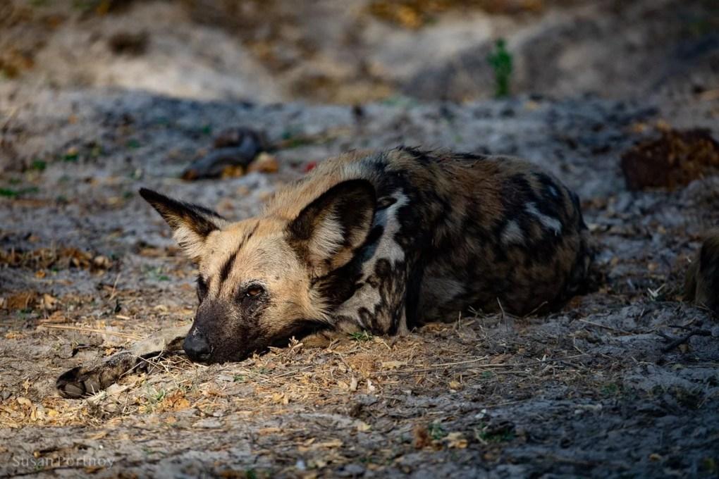 Wild dog laying down