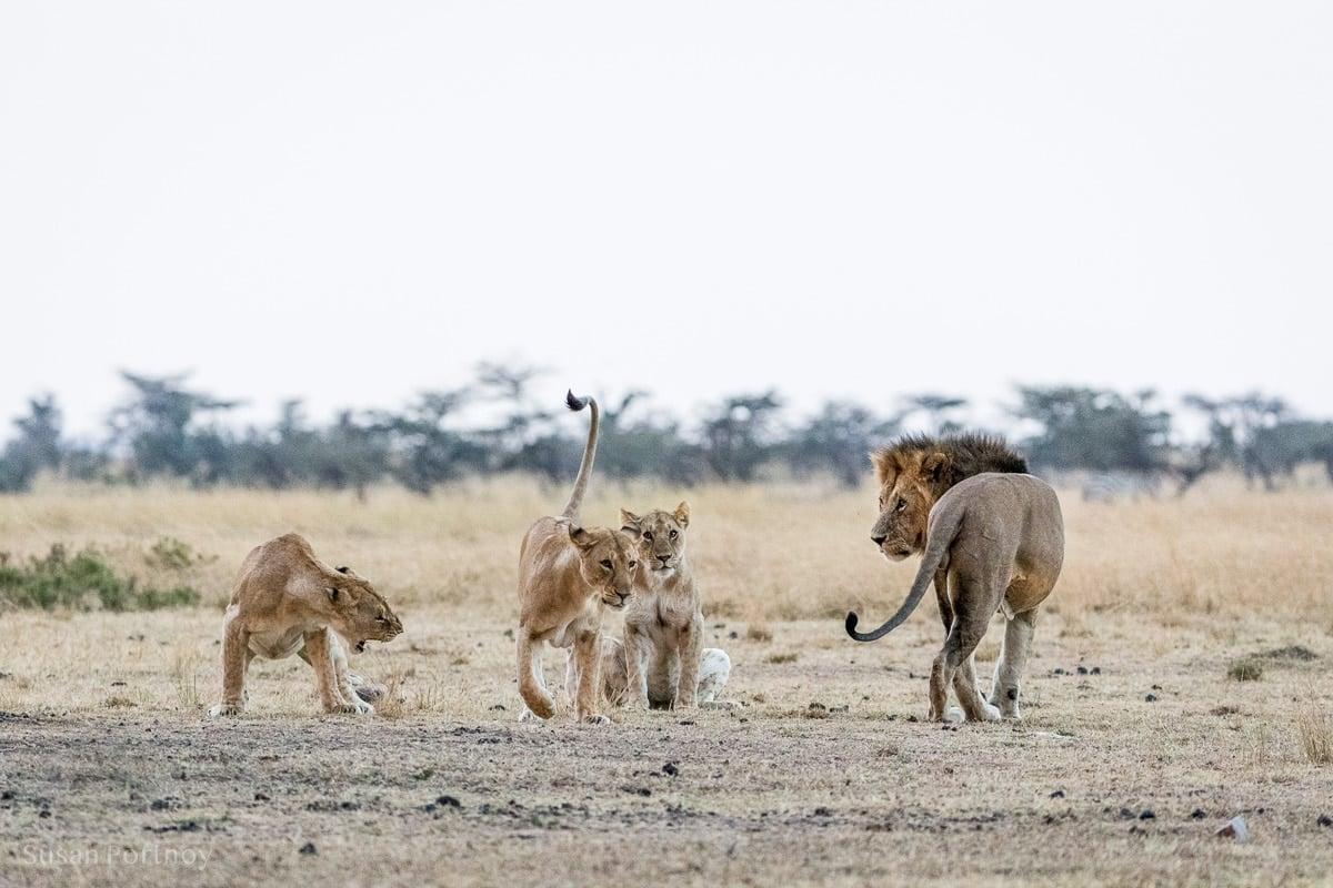 Lion versus lionesses in the Masai Mara.