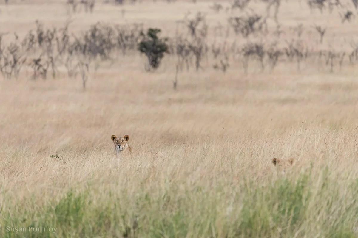 Two lionesses walking through high grass in the Masai Mara