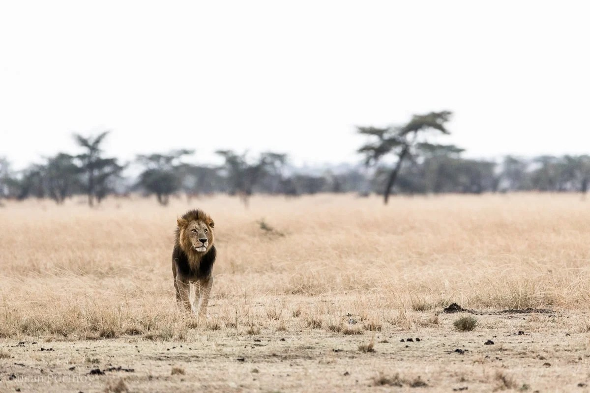 Male lion in the Masai Mara Lion Stories