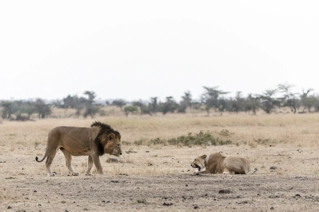 lion and lioness in the Masai Mara