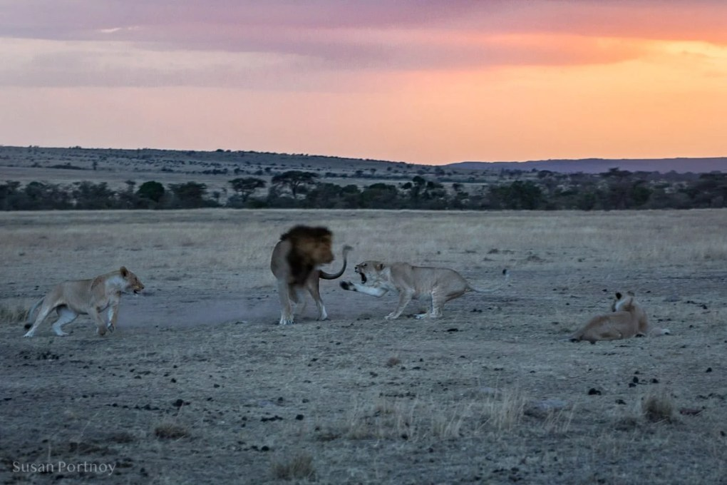 Lions in the Masai Mara at twilight
