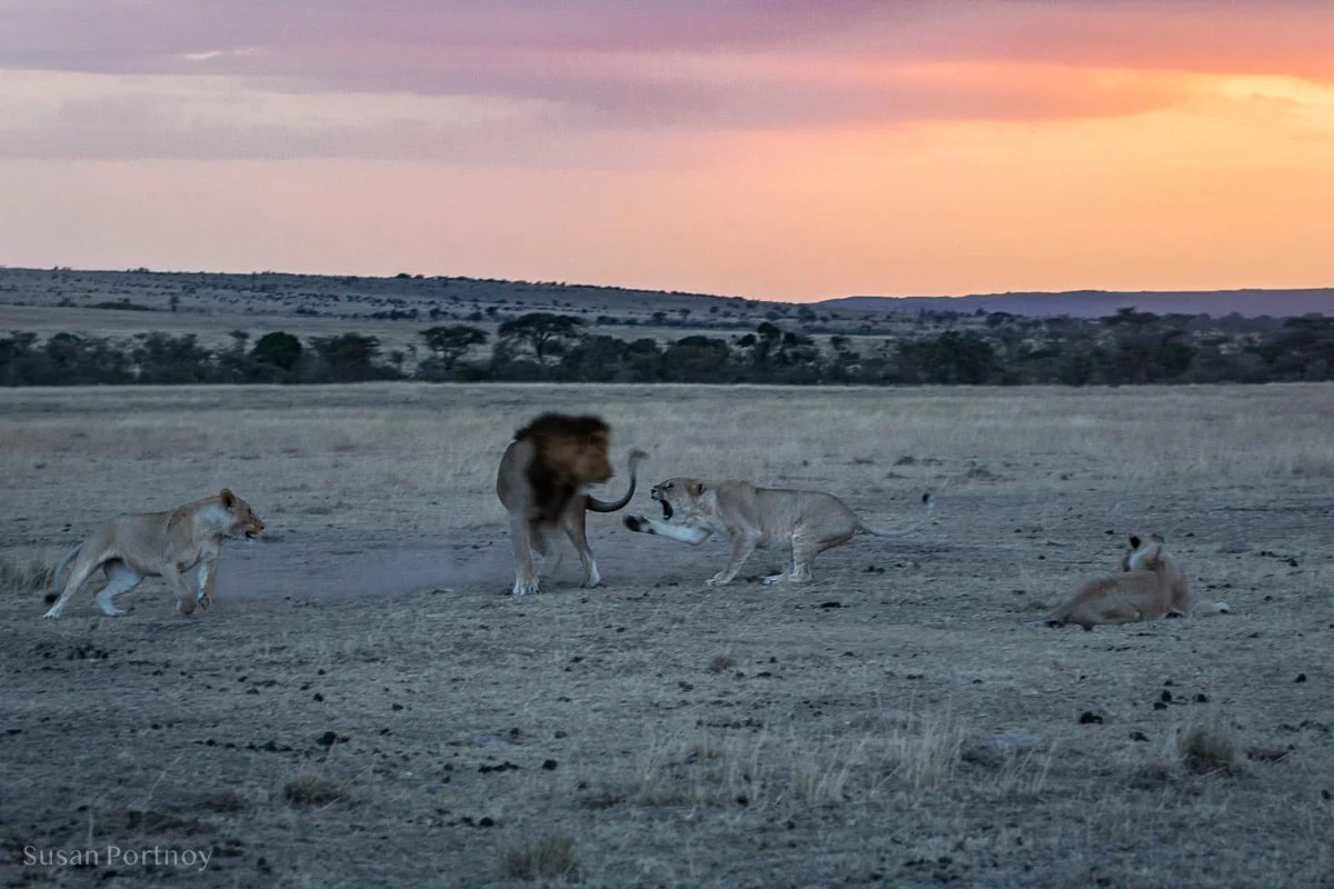 Lioness swipes at a male lion with her paw, claws out.