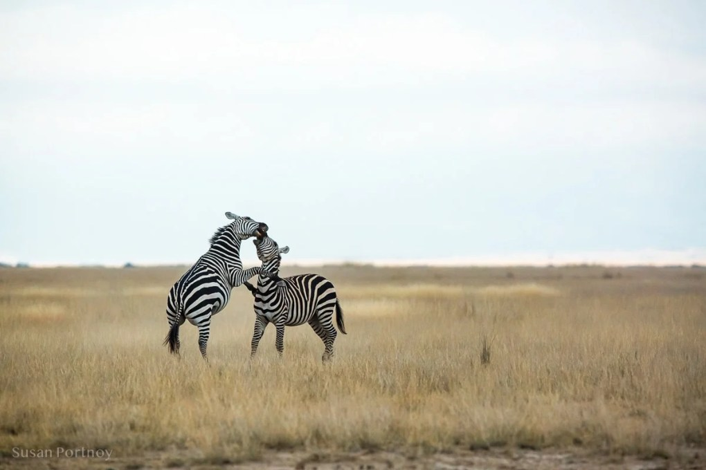 Two zebras play fighting