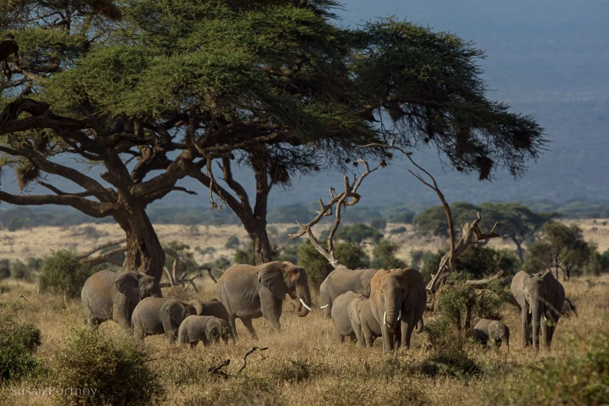Herd of elephants in an acacia forest