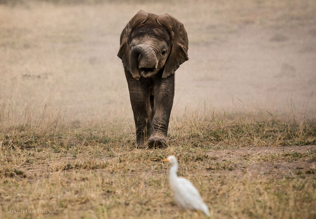 Baby elephant looking at an egret