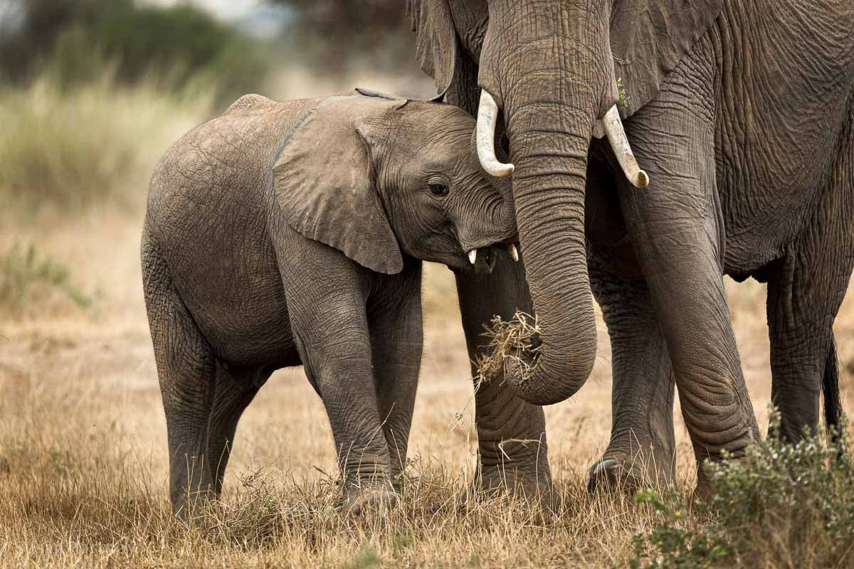Elephant Calf and mother eating
