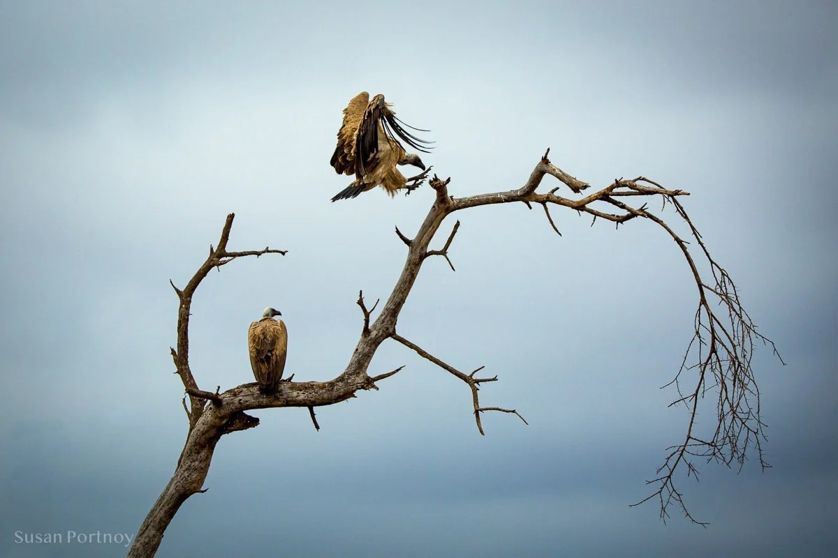 Vultures on a tree -
