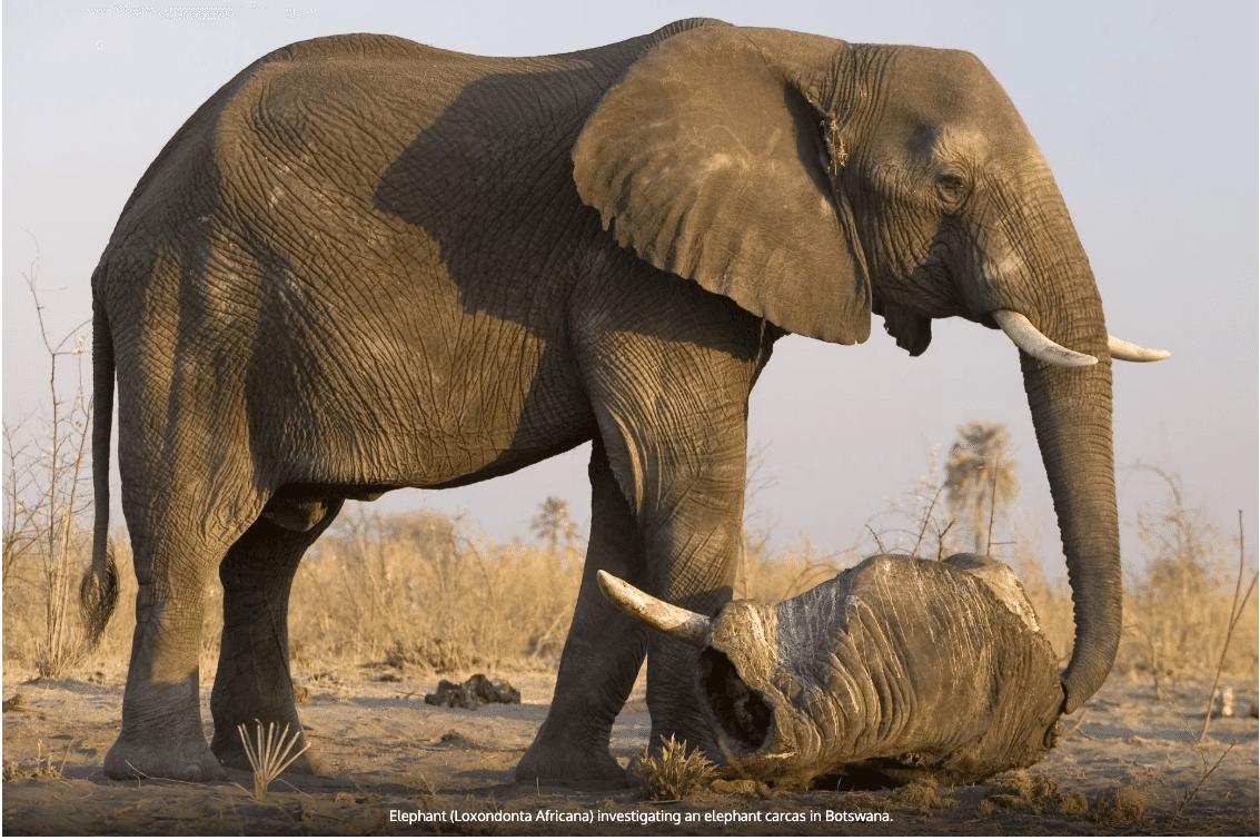 Elephant (Loxondonta Africana) investigating an elephant carcas in Botswana.