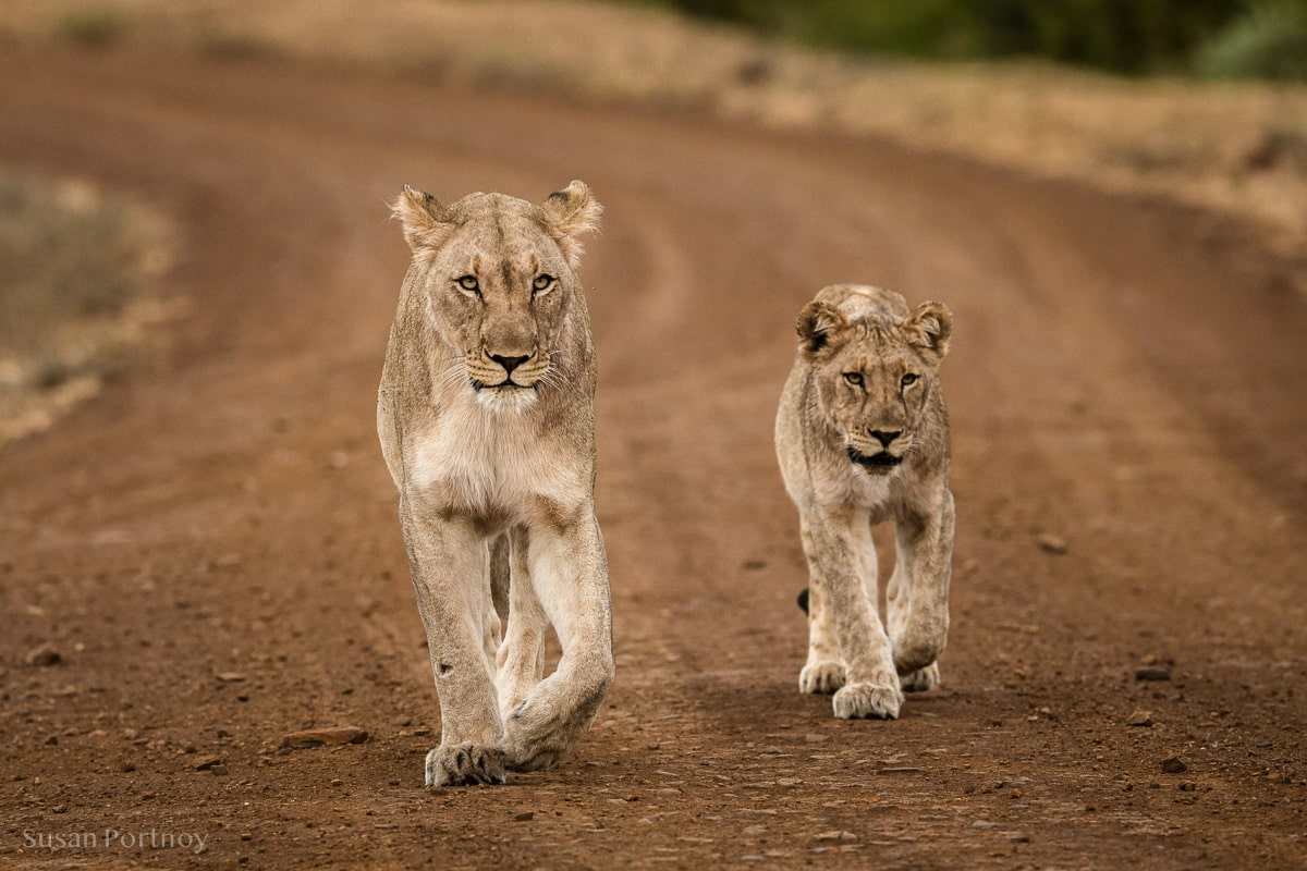 A lion and her cub walk down a dirt road in the Madikwe Game Reserve