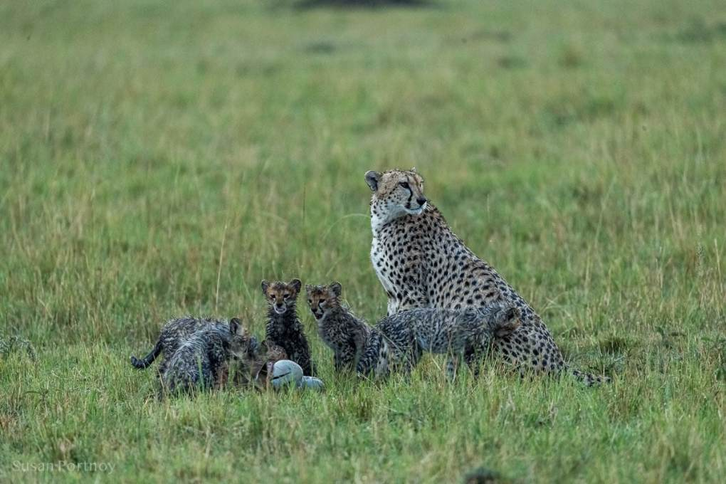Cheetah mom with her cubs in the rain on the Masai Mara