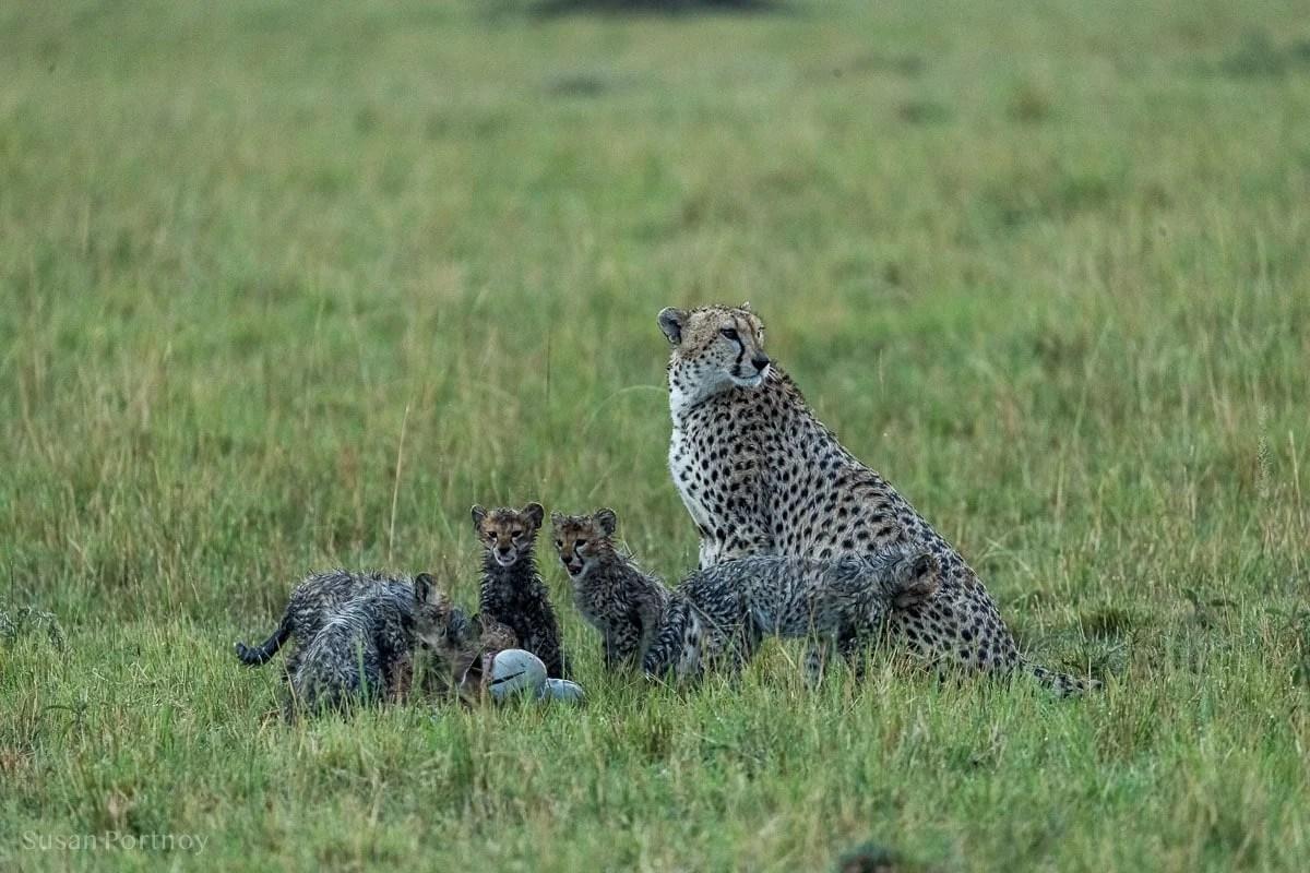Cheetah mom with her cubs in the rain on the Masai Mara