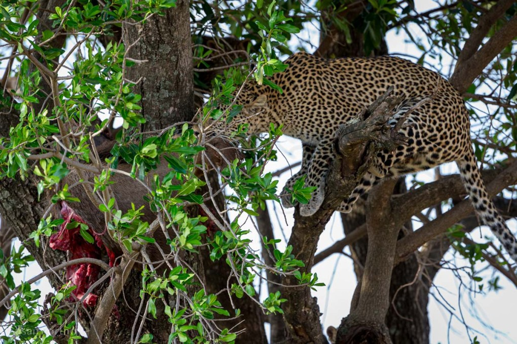 Leopard in a tree with a wildebeest kill