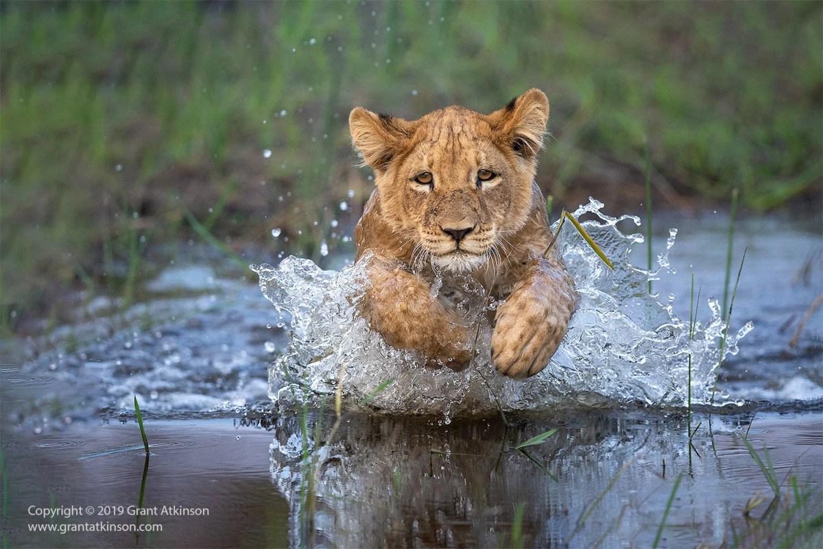 Lion cub running through water in Botswana