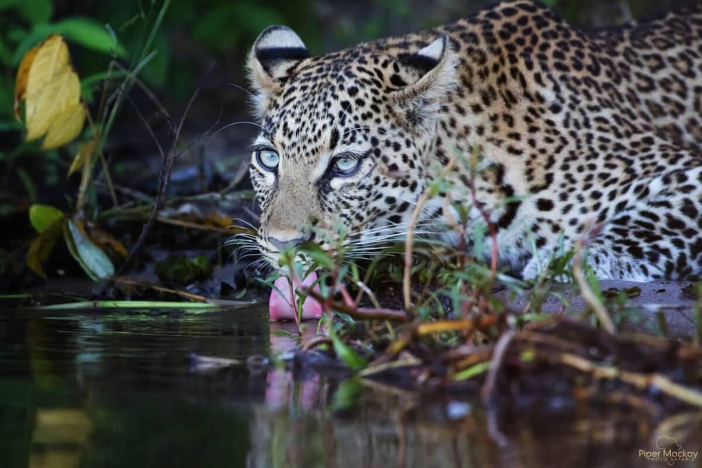 Leopard drinking in Botswana