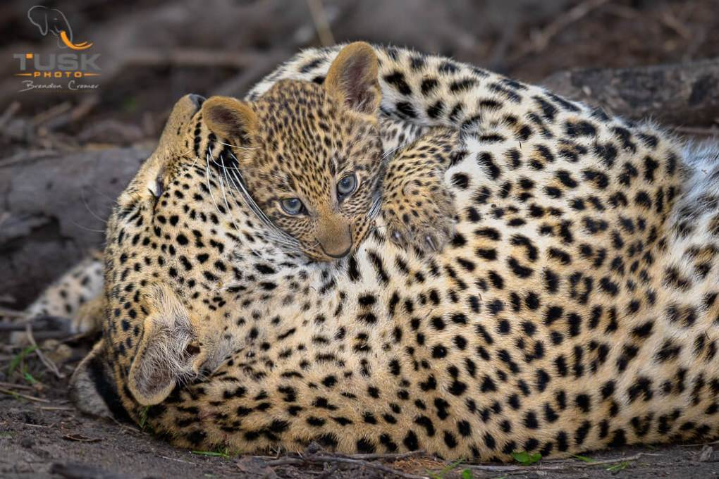 Leopard Mother and cub Photo: Brendon - Cremer- African Photo Safaris