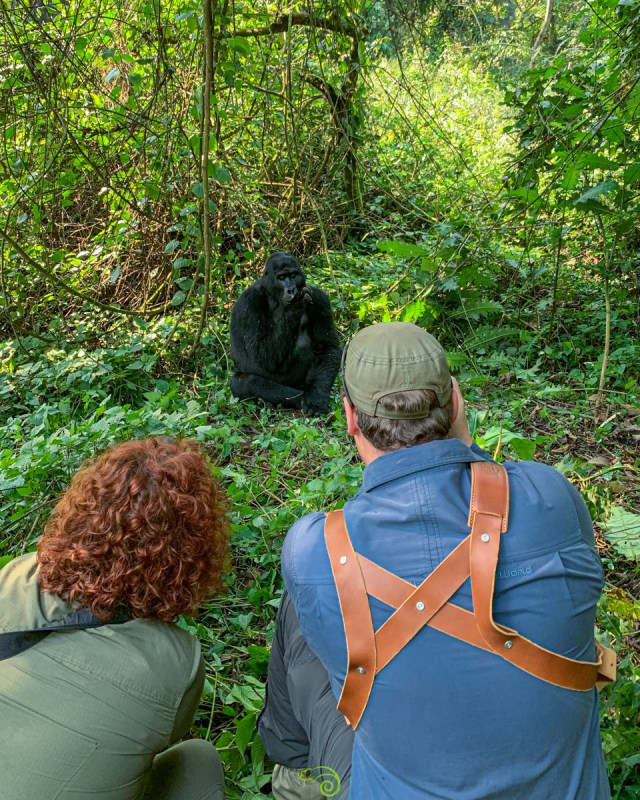 photographing a gorilla in Uganda