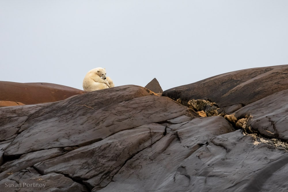 Polar Bear nursing a cub in Churchill, Manitoba