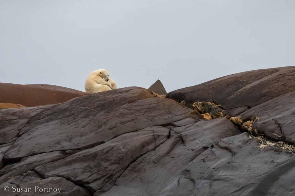 A polar bear nurses a cub near Churchill Manitoba