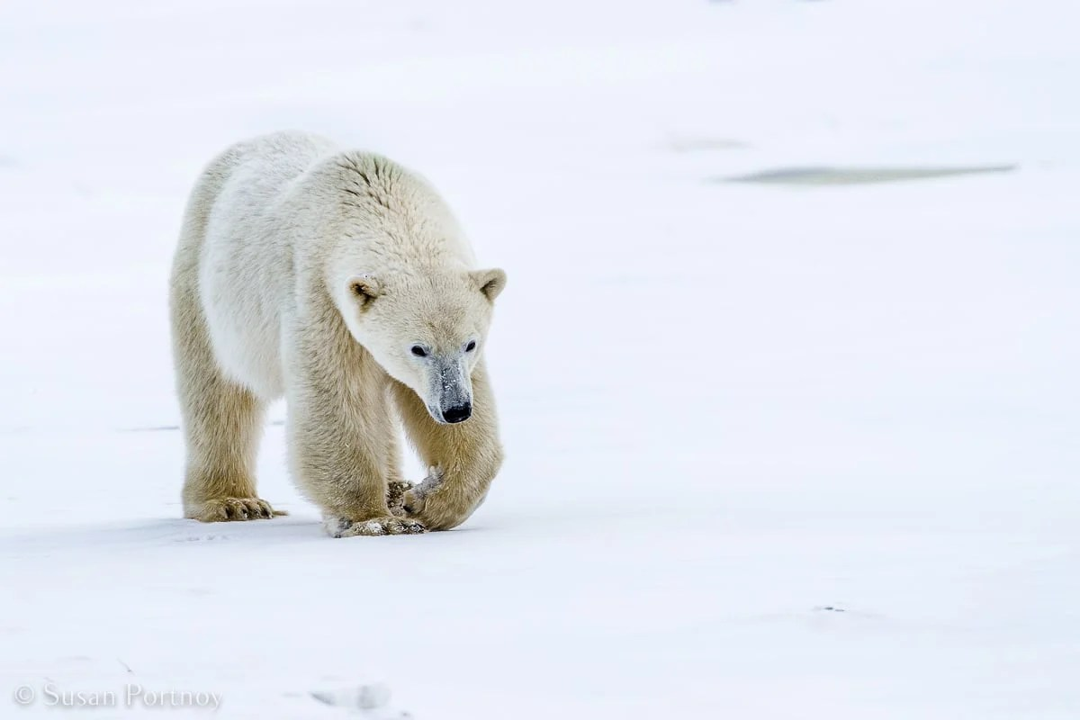 Polar bear walking in the snow