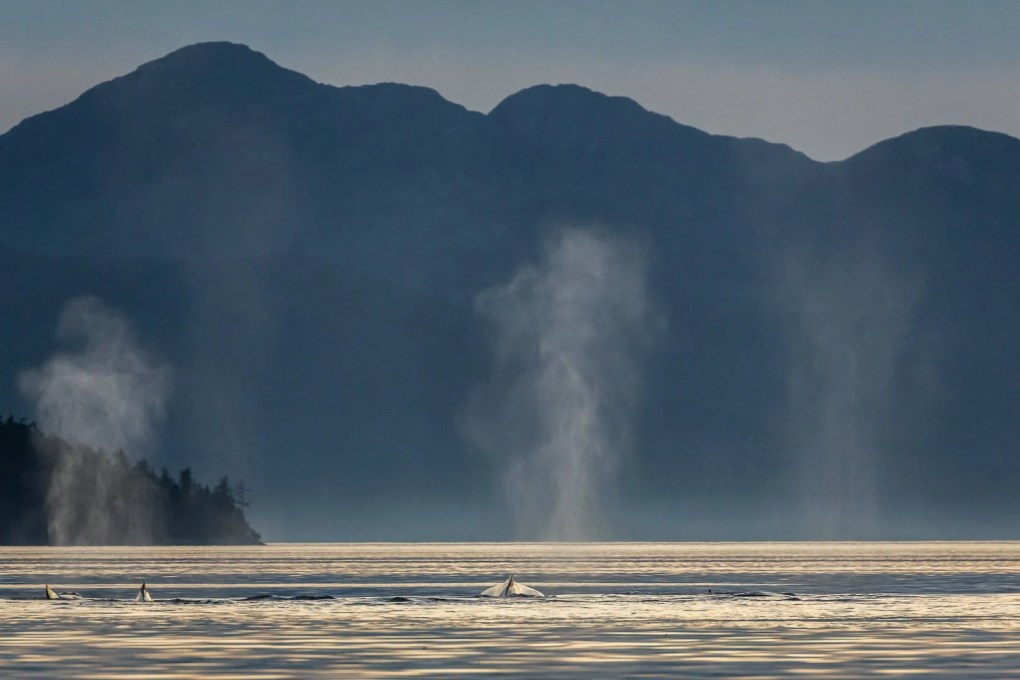 The mist from three humpback whales shoot up out of the water at sunset in the