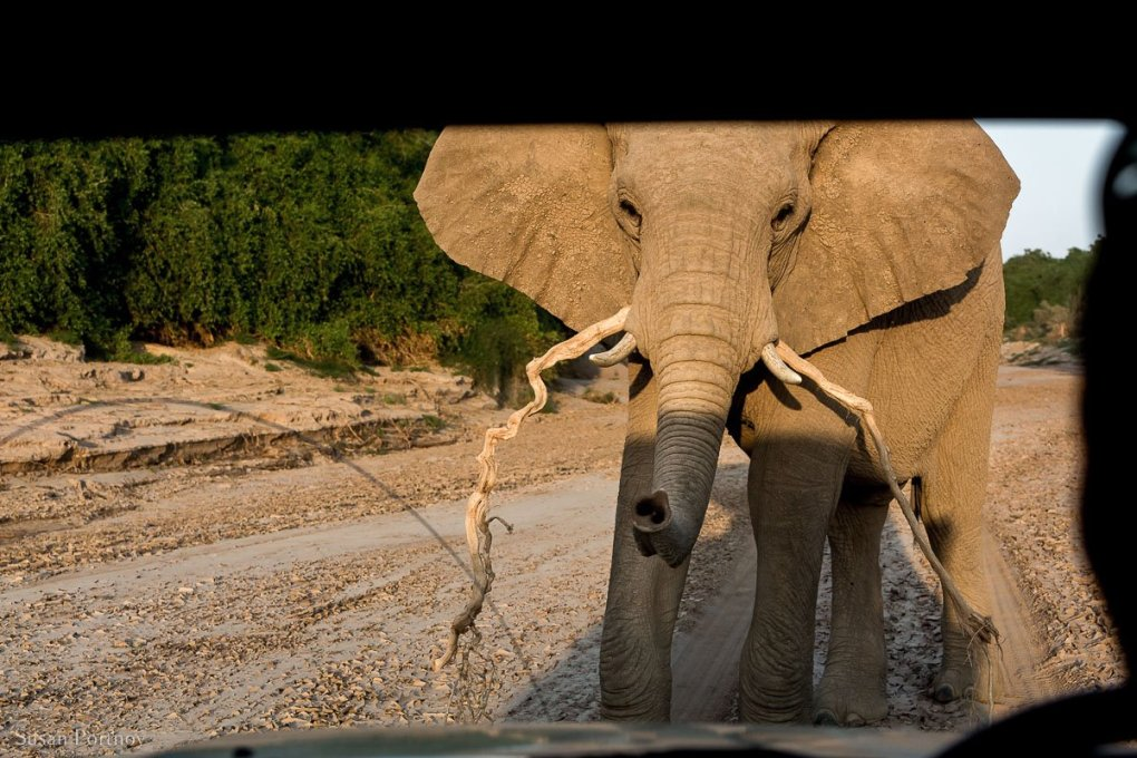 An elephant holding a branch in his trunk standing in front of the vehicle where the camera is in Namibia