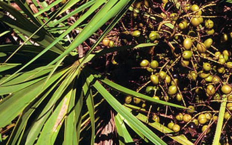 Saw Palmetto for Men's Health