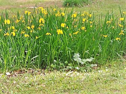 yellow summer flowers by sheila gail landgraf