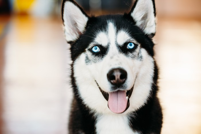 Close Up Head Young Happy Husky Puppy Eskimo Dog With Blue Eyes
