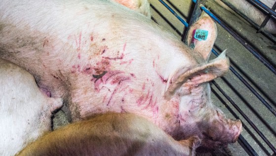 Smithfield-Circle-Four-Farms-piglets-pigs-factory-pig-aminal-cruelty-abuse-07-1506966748